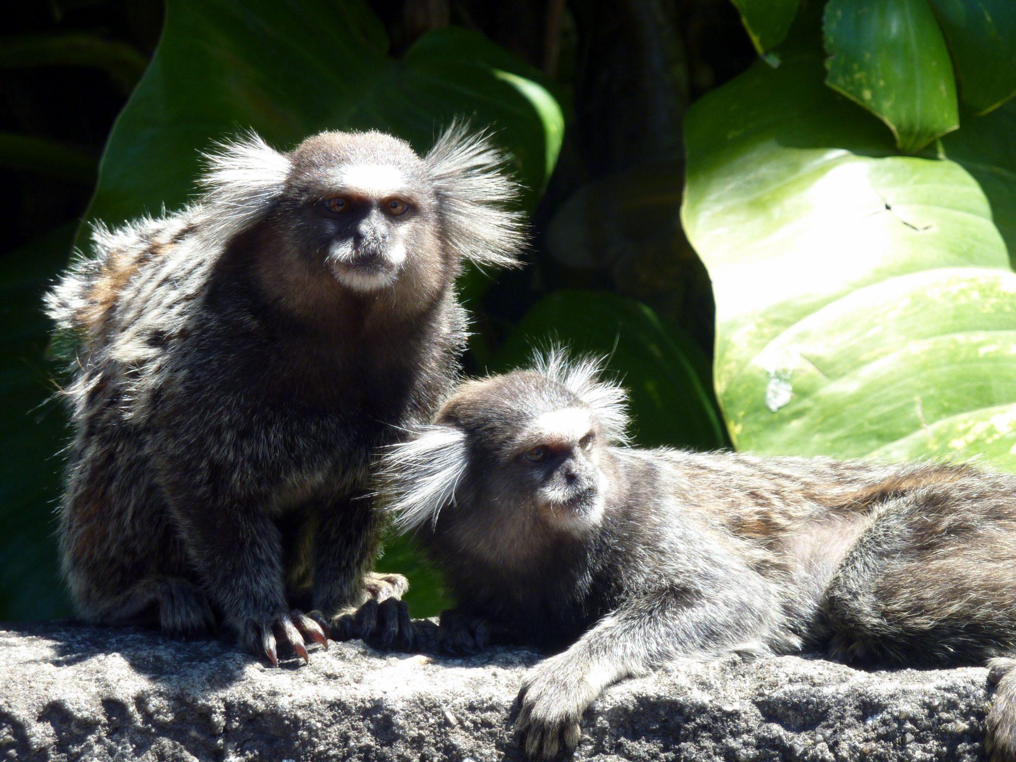 Pinselohr-Affen