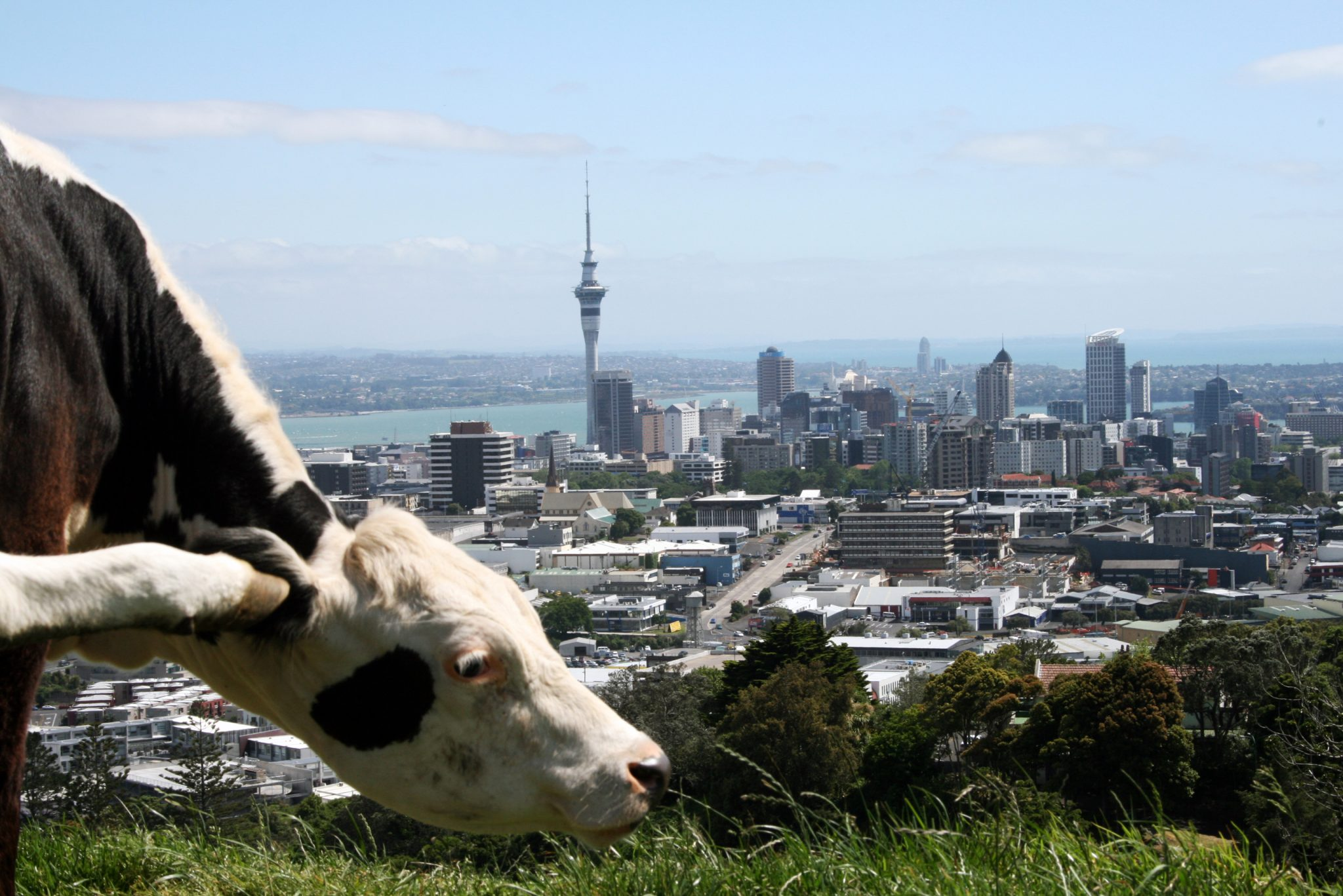 Auckland Kuh