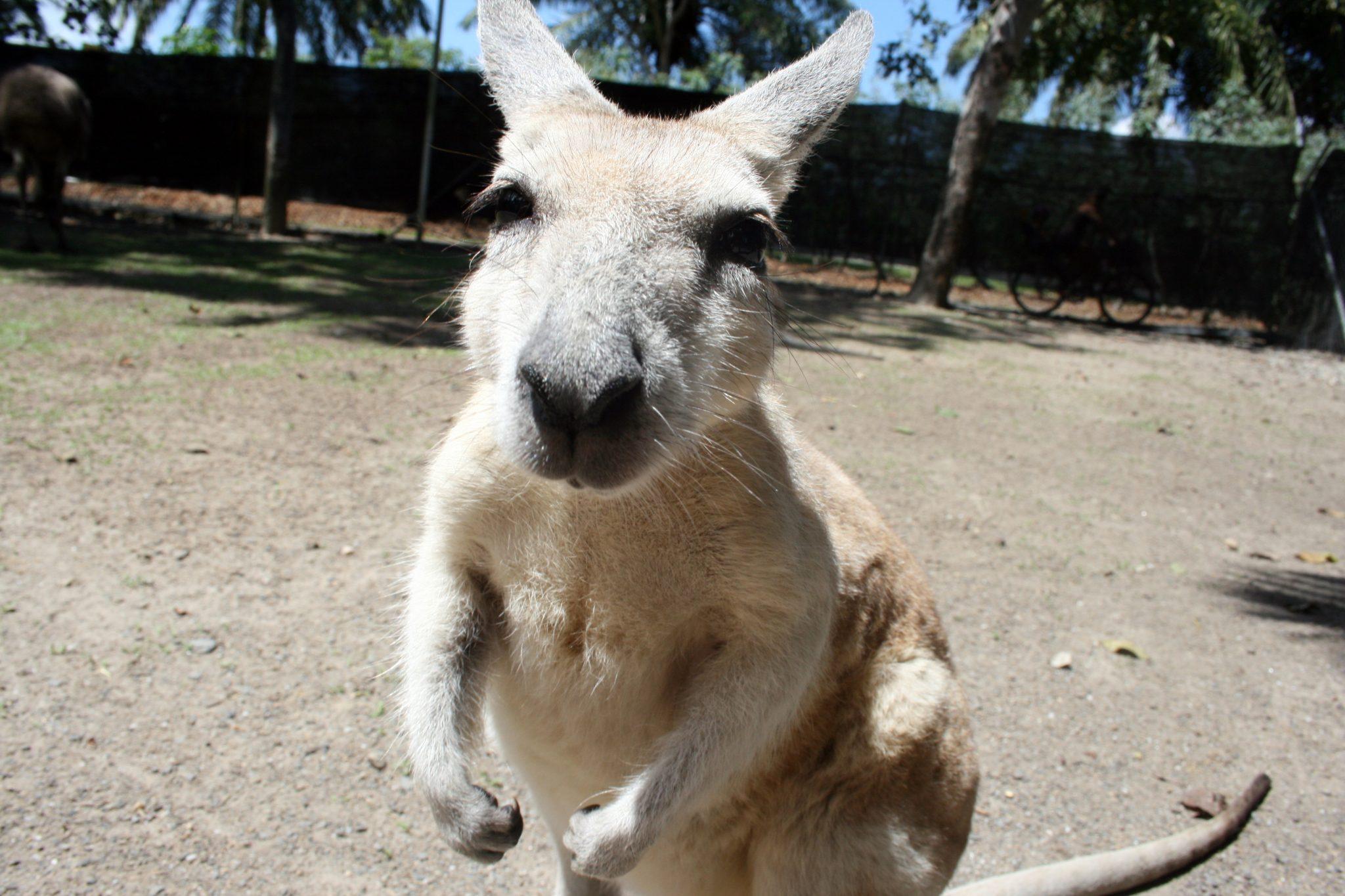 Box Känguru