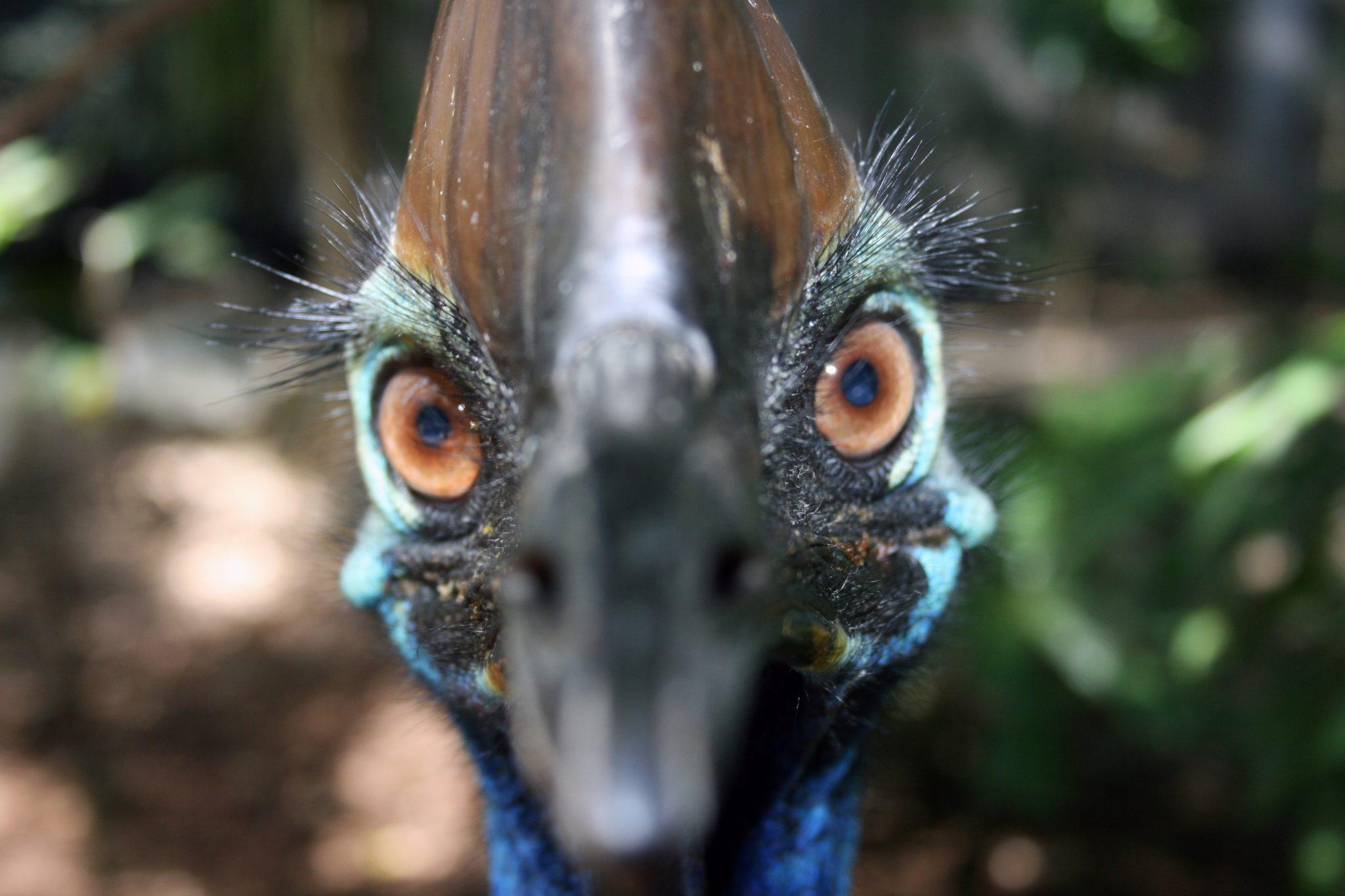 Cassowary Portrait 1