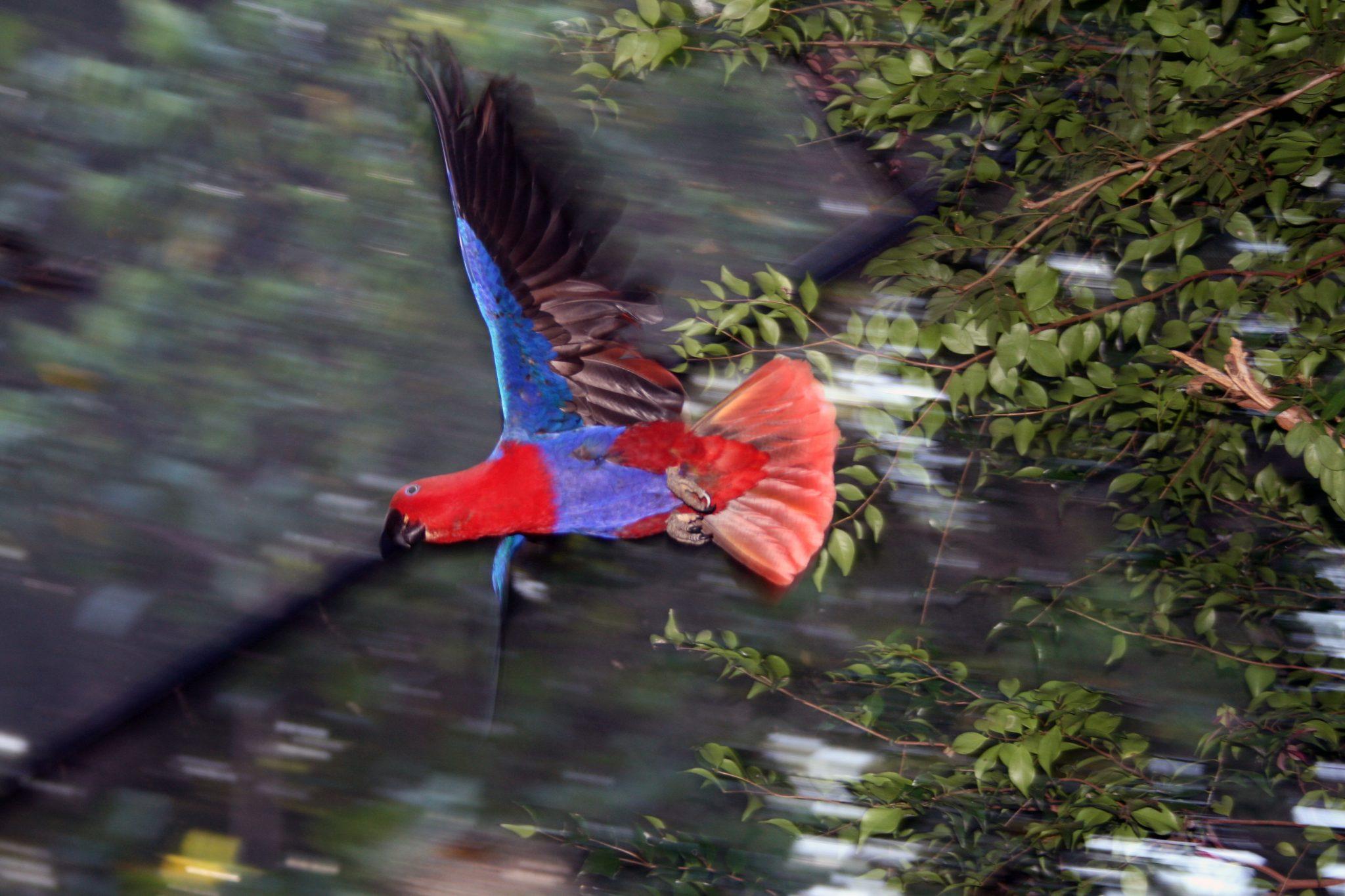 Eclectus Parrot 1