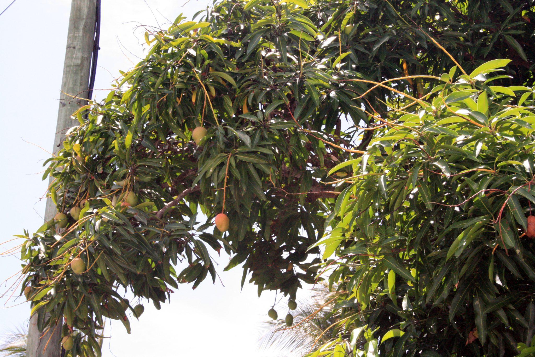 Mango Tree Ellis Beach