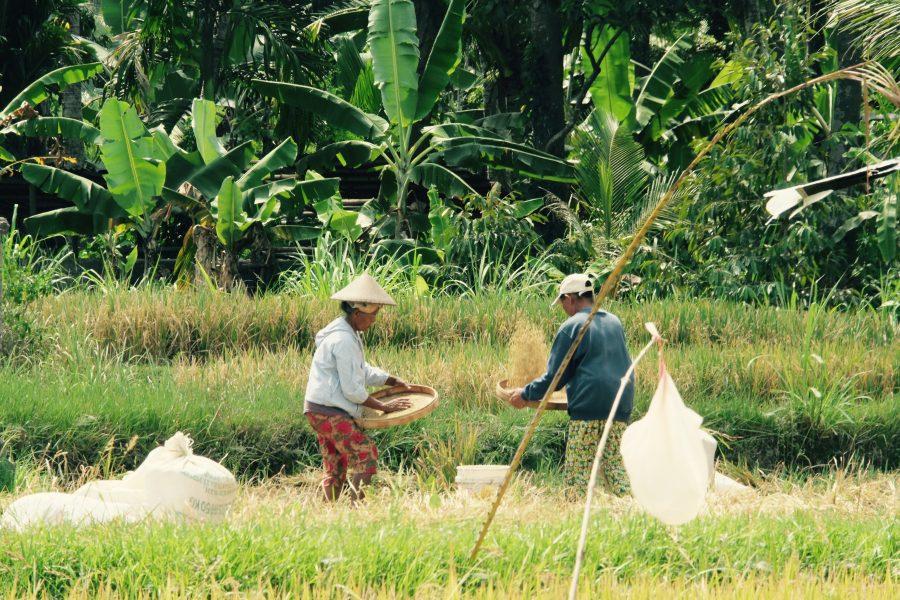 Reisernte Bali