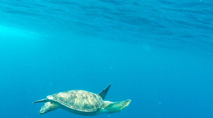 Schildkröten Gilli Air Schnorcheln