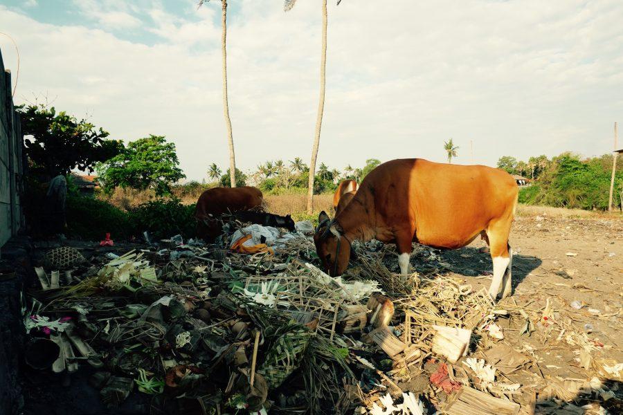 Kuh grast im Müll Indonesien