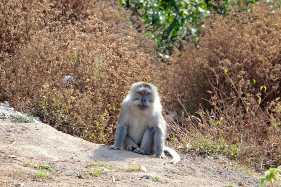 Affe auf Lombok