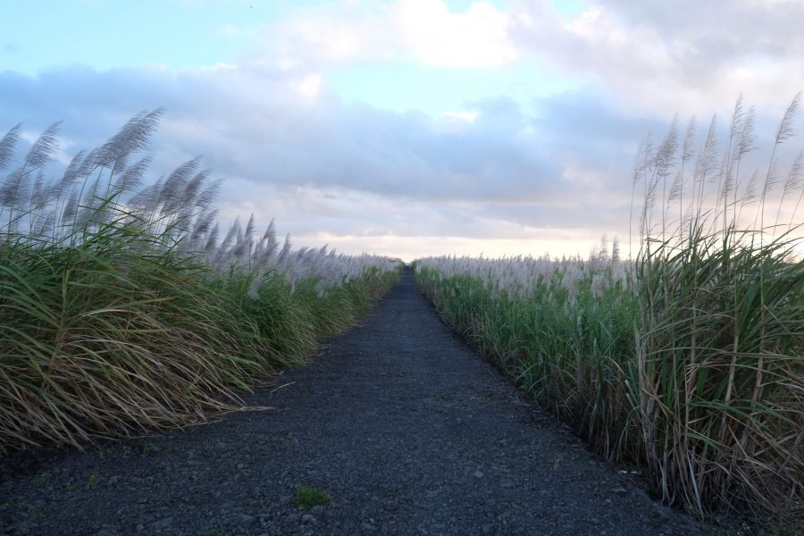 Zuckerrohrfelder Mauritius