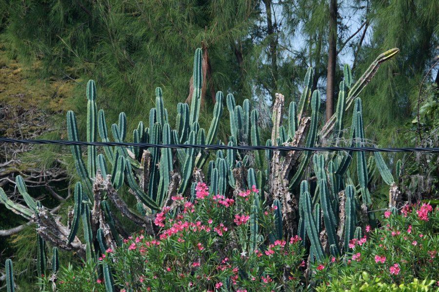 Kaktus Hecke